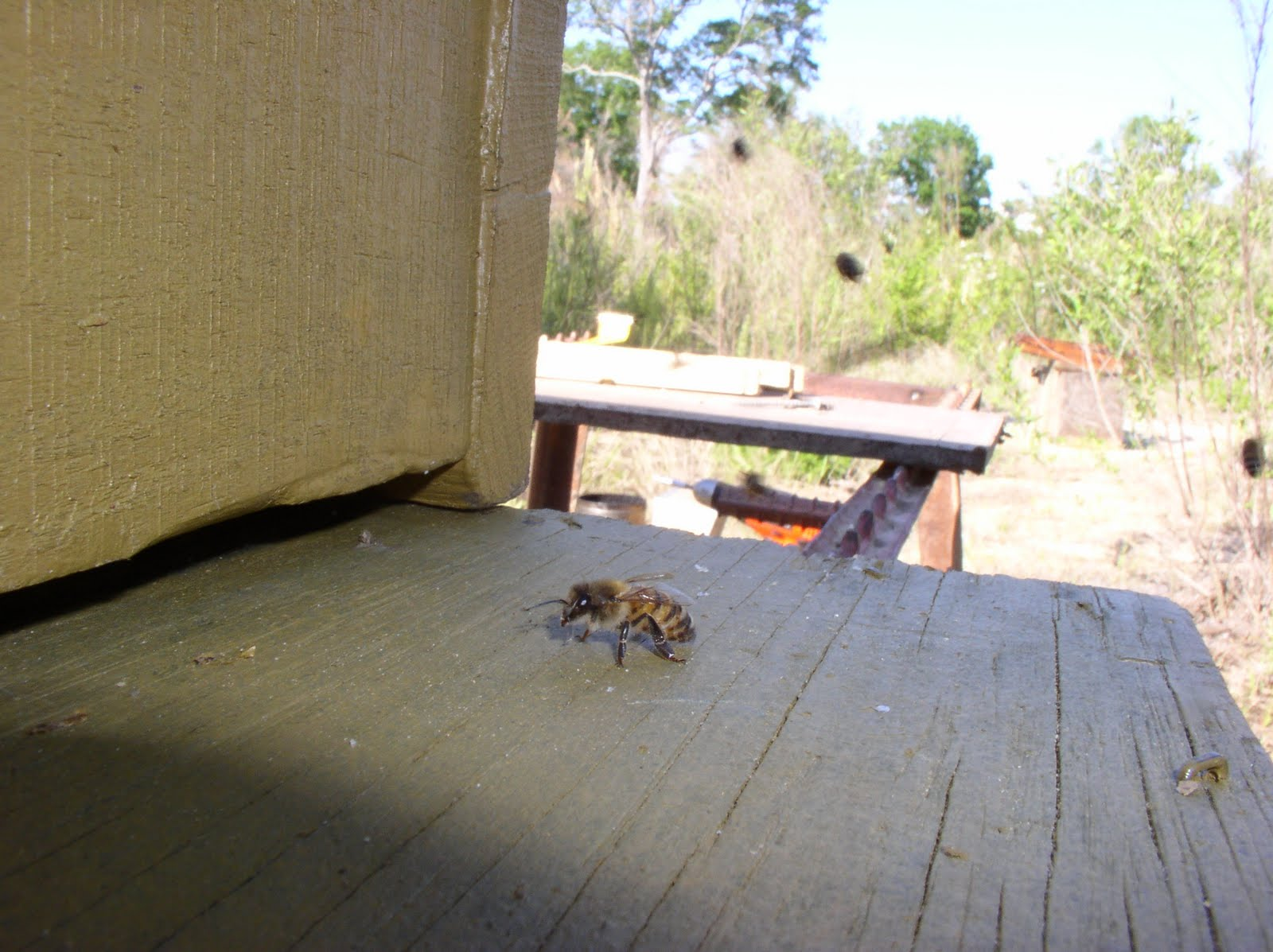 how to move a bee swarm to a hive