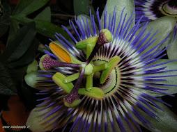 Il fiore della passione di Gesù