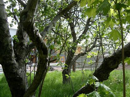 Träd i farozonen