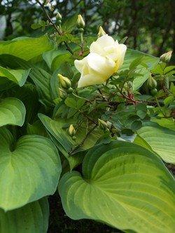 Rosa 'Aïcha' og hosta 'Gold Standard'