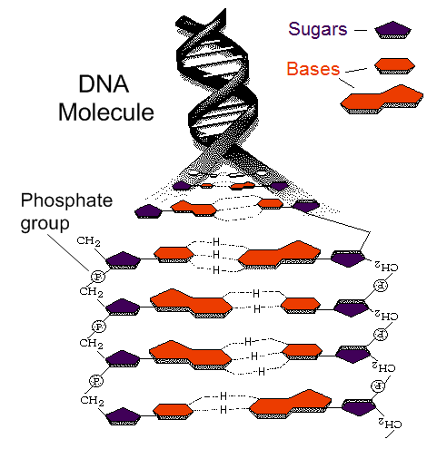 Dna Double Helix Labeled Dna is a double helix