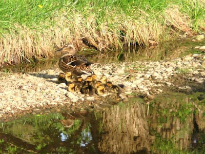 ducklings with mom