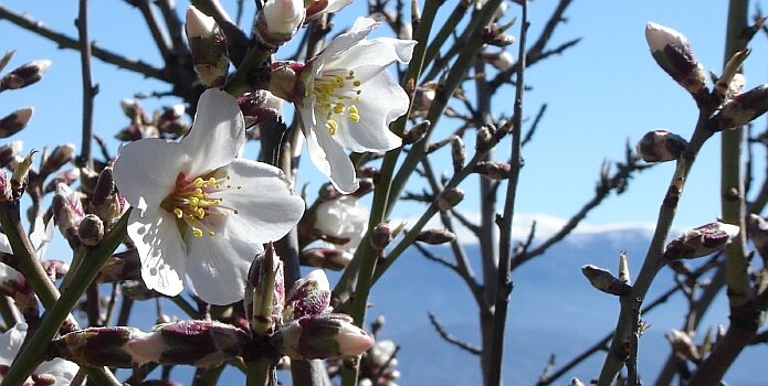 First almond blossom on Valentine´s Day - foto: Casa Rural El Paraje