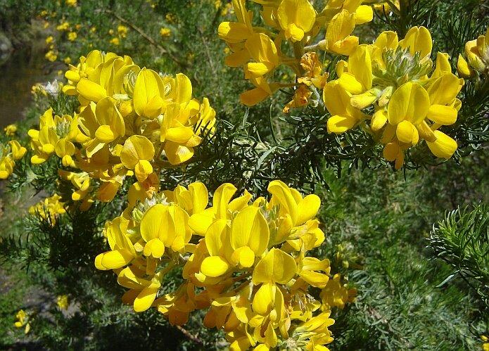 Adenocarpus Decorticans a plant that flowers in April on our finca - foto: casa rural El Paraje