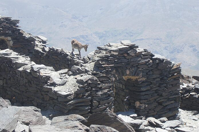 Mountain goat on the ruined hermitage ´Ermita de la Virgen de las Nieves´ on the top of the Mulhacén - foto: casa rural El Paraje