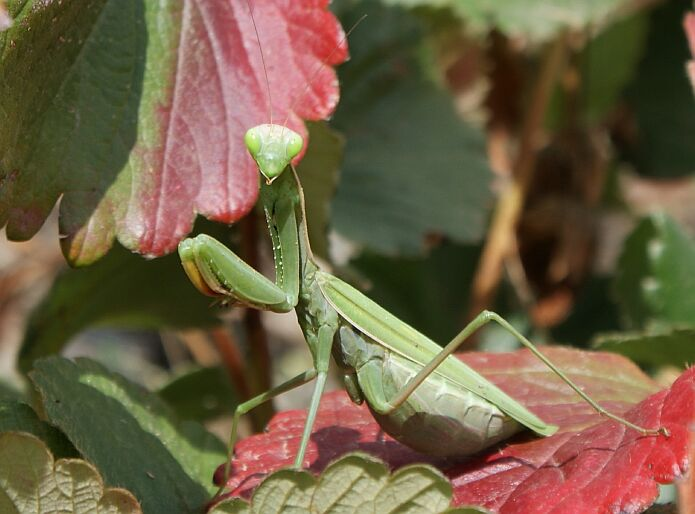 Mantis religiosa on an autumn leaf of a strawberry plant - foto: casa rural El Paraje