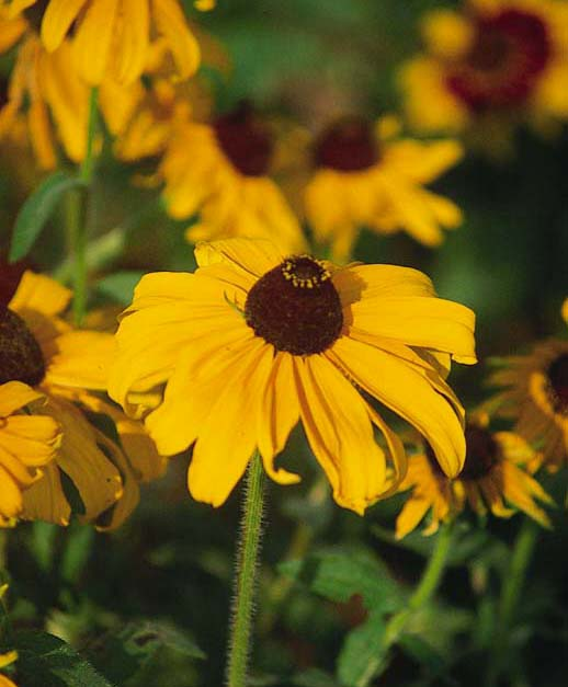 Herbal Medicine Box: Medicinal Herbs: Black-Eyed Susan