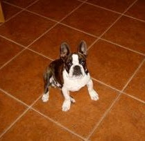 ... .com - boston terrier bulldog mix, half and half creamer, moley