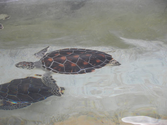 Turtle farm Grand Cayman