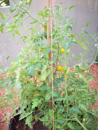 My tomato and mint plants
