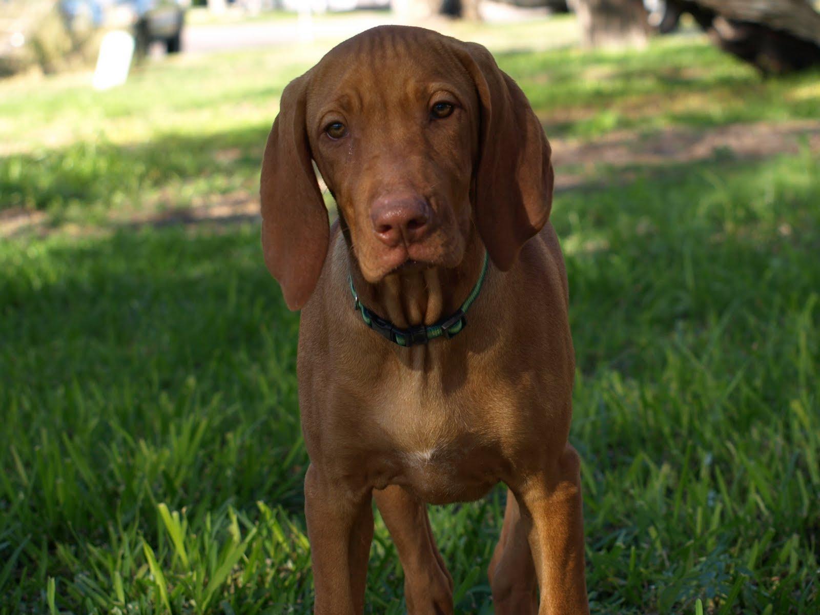 Vizsla Puppies For SAL...