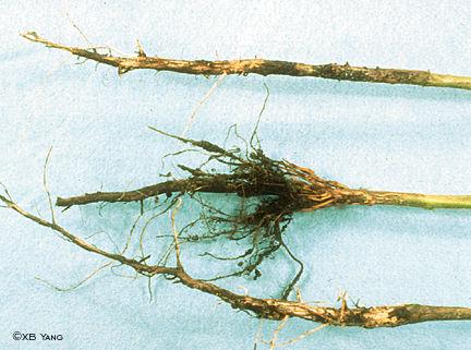 Struttura di erbe contro parassiti
