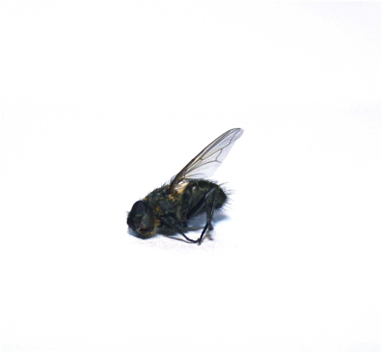 Finding Dead Flies In House http://insteadofanelephant.blogspot.com/2011_01_26_archive.html