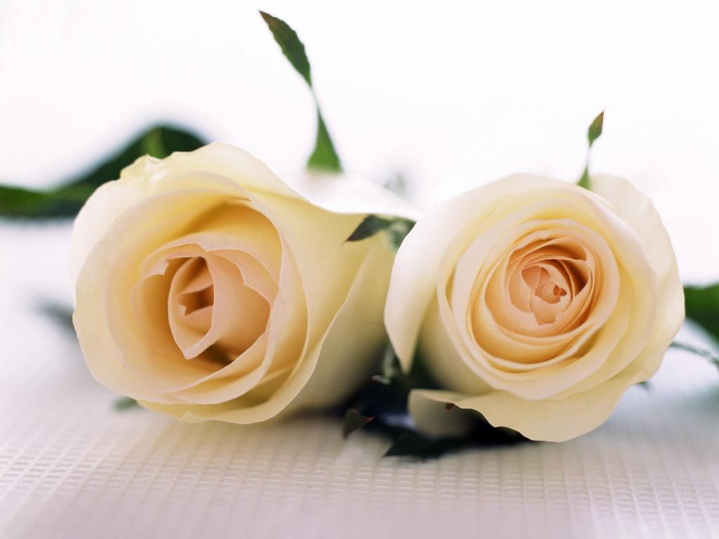 Quero ser com estas rosas serenas, suaves, porém de uma presença que encanta...