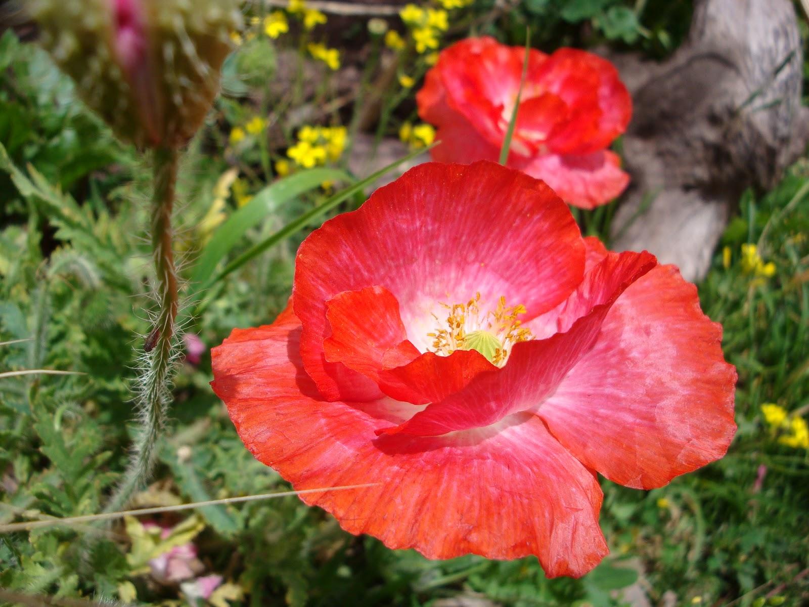 Luna verde algunas flores del jard n de mi hermana for Amapola jardin de infantes
