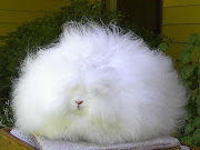 Happy Easter: Angora Bunnies!