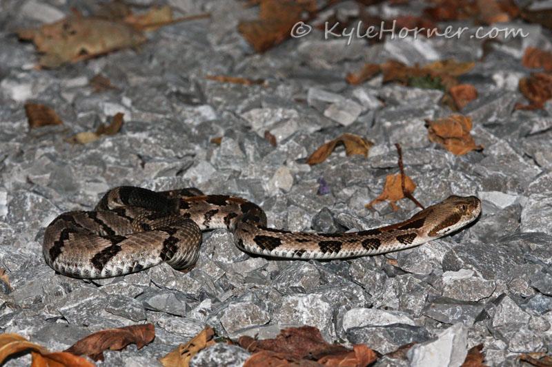Baby Timber Rattlesnake Identification   www.pixshark.com ...