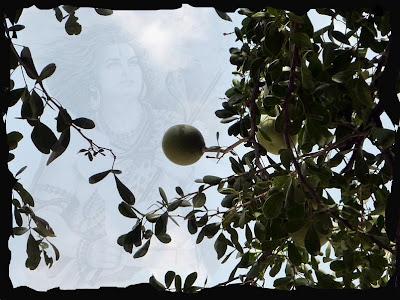 Bilva Patra Leaves