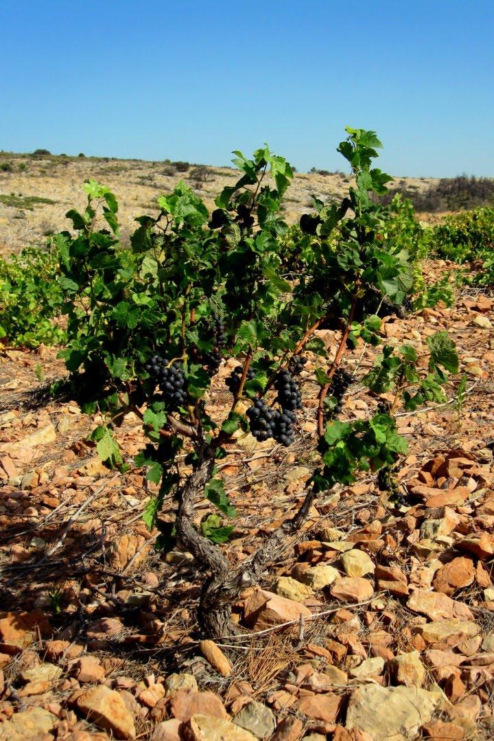 En tolosan la vigne les raisins for Cep de vigne decoration