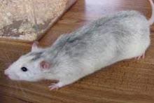 Roan (Husky)
