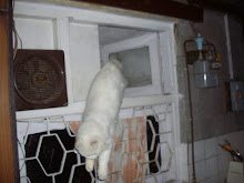 "Evolving from ""Doll-Faced Persian"" to a ""Leopard-faced Persian cat"".Jumping from the ""Kitchen ledge"