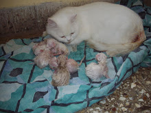 "Queen cat ""Matahari"" with her 6 kittens."