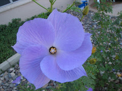 "THE AZ ""BLUE HIBISCUS"""