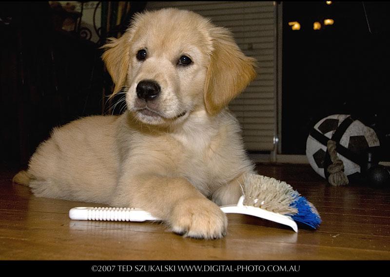 cute golden retriever puppy wallpapers. wallpaper house Golden