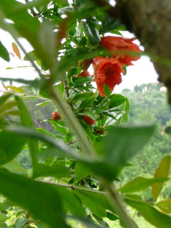 melograno, fiore