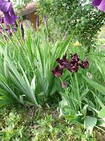Blue Parrot, Iris germanica, tulipani blu, iris, plave lale, perunike