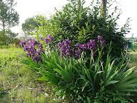Iris germanica, perunike