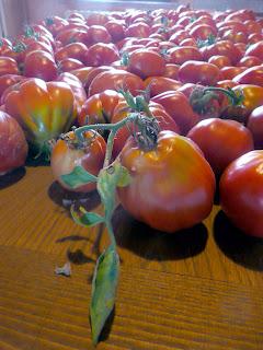 Una parte del raccolto di pomodori che sta per essere trasformata in vasetti di passata