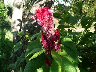 Celosia cristata L., Cresta di gallo, Celosia, Amarante crête de coq, Crested Cockscomb, Hahnenkamm - Si presume che sia d'origine africana