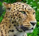 jaguar............