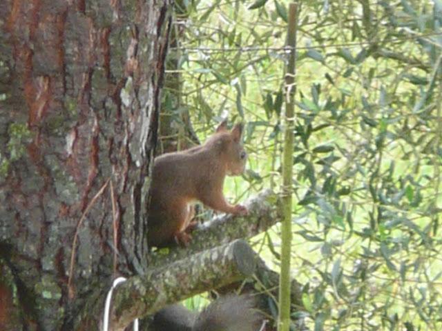 scoiattolo comune