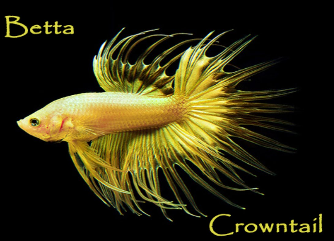 Betta crowntail ficha de la especie betta splendens for Crowntail betta fish