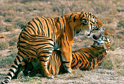 Woman having sex with tiger