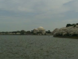 Cherry Blossoms in DC in March
