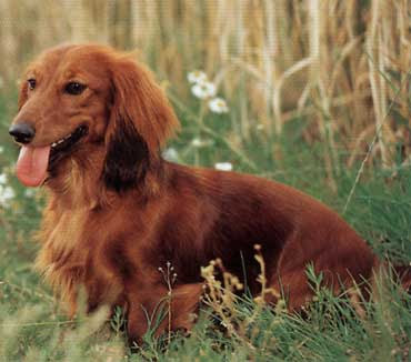 Miniature Long Hair Dachshund