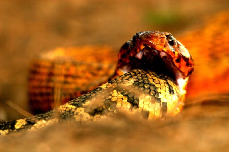 Adder snake bite