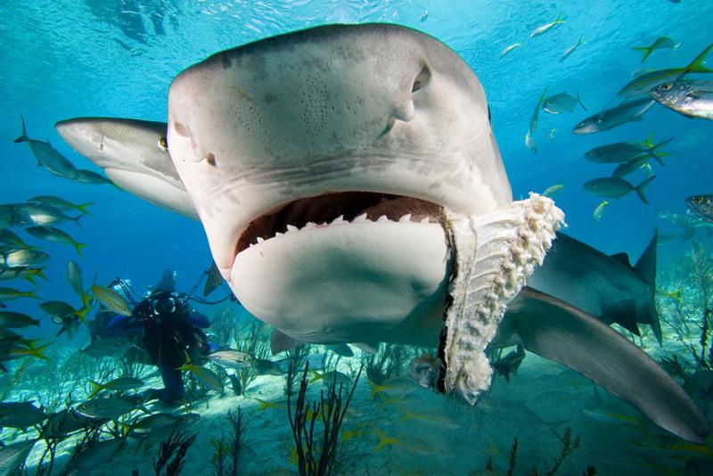shark attacks surfer. Tiger sharks, hammer heads and