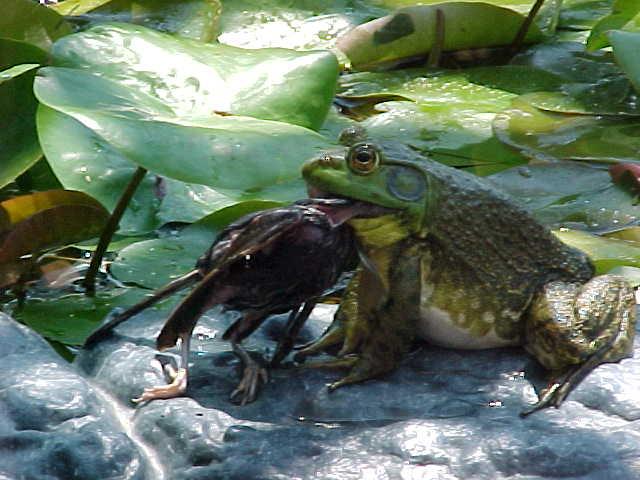 Frog eating bird - photo#2