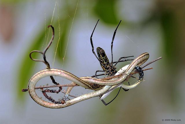 Australian Snake Eating Spider Spider Eats a Snake
