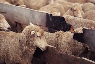 american sheep industry