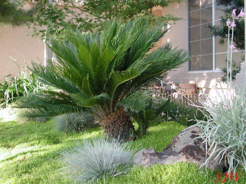 cycas revoluta shrub id. Black Bedroom Furniture Sets. Home Design Ideas