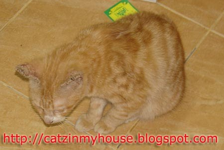 Side Effects Of Itraconazole In Kittens