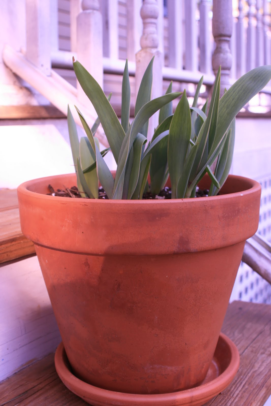 Sign of Spring #2...nearly budding tulips that my ever so thoughtful ...