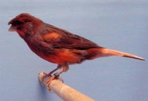 Di arena kontes burung kenari jenis Stafford Canary mem