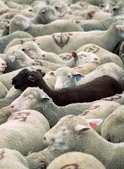 Junto a la oveja negra del rebaño