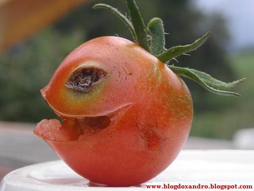 [tomate-assassino.jpg]